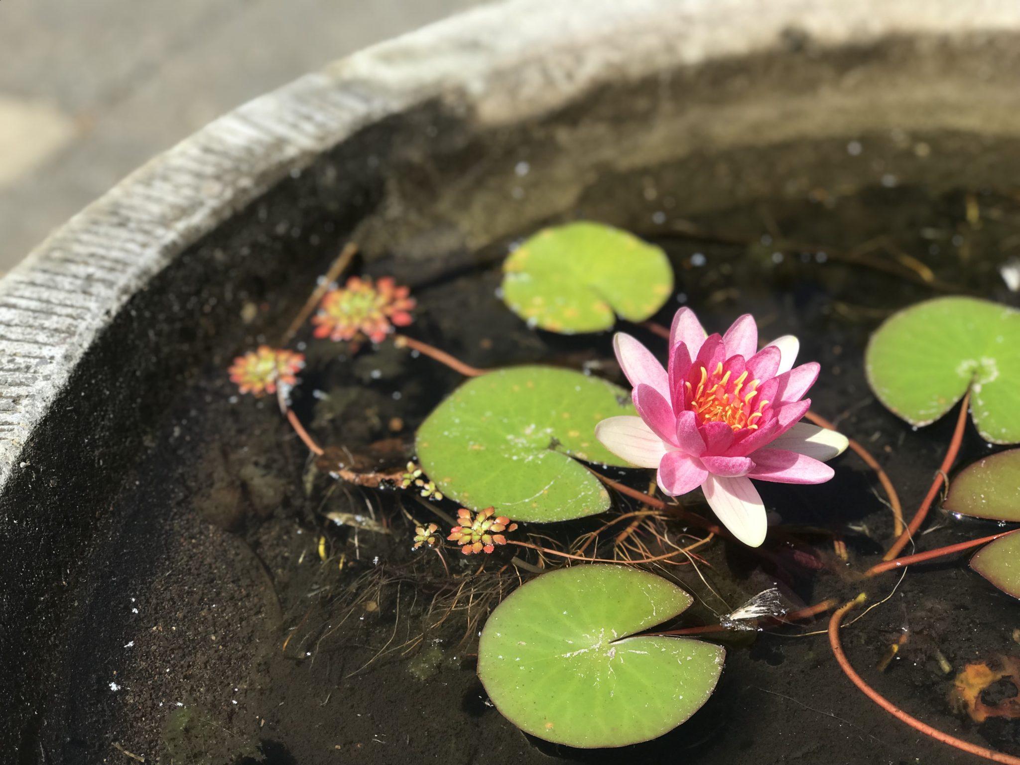 睡蓮 蓮の花