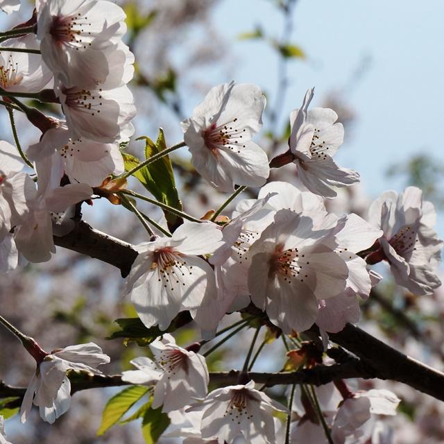 熊野神社 花見