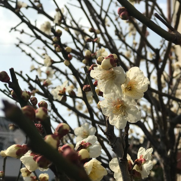 梅の花 福岡市西区横浜