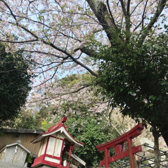 熊野神社 桜