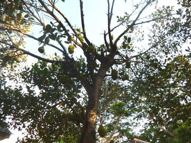 ナンカの木 ジャックフルーツ